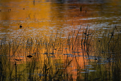 Weeds At Dusk (d.cobb56) Tags: weeds autumn dusk fall water seasons october newengland massachusetts reflection