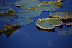Lily Pads (Bad Alley) Tags: brickworks pond wetland waterlilies lilypads