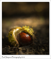 Fallen Conker (Paul Simpson Photography) Tags: coloursofnature conker nature paulsimpsonphotography photoof photosof imageof imagesof september2016 sonya77 autumnal fall autumn autumnfruit woodland lincolnshire forest viewsof normanbypark naturalworld