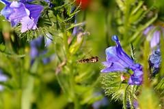 Ruig klokje Campanula trachelium (mia_moreau) Tags: zuidlimburg miamoreau ruigklokje bloem
