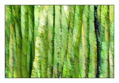 Forest curtain (Zwaireem) Tags: icm intentionalcameramovement painterly pentax k3 multipleexposure tree