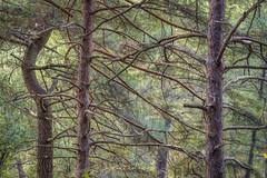A la sombra de los pinos (Javier Daz Barrera (javierdiazbarrera.es)) Tags: pino pine tree rbol bosque lacandamia len minolta75300 minolta coloresminolta sonya99 javibichos javierdb javierdiaz javierdiazbarrera javierdaz javierdazbarrera javierdiazbarreraes