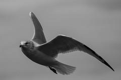 Seagull in flight (runningman1958) Tags: 365 365dayproject nikon d7200 nikond7200 nature bird seagull blackandwhite bw avian