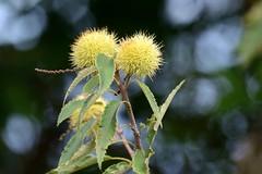 Ricci verdi () Tags: ricci verdi castagno castagne ramo branch foglie leaves bokeh