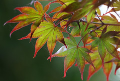 'The' Time Has Come ... (AnyMotion) Tags: astronomicalbeginningofautumn astronomischerherbstanfang southwardequinox herbstquinoktium tagundnachtgleiche herbstanfang japanesemaple fcherahorn acerpalmatum leaf leaves blatt bltter foliage autumncolours herbstfrbung 2016 anymotion plants pflanzen nature natur botanischergarten frankfurt tree baum colours colors farben red rot green grn 7d2 canoneos7dmarkii autumn fall herbst automne otoo