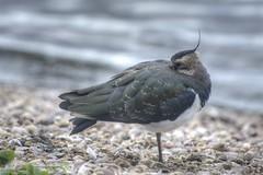 Taking Five (Malc H) Tags: lapwing attenborough bird gravel naturereserve