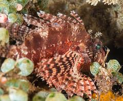 Shortfin lionfish on a coral (Arno Enzerink) Tags: loistosiipisimppu aquatic dendrochirusbrachypterus diving dwarf fin life lionfish marine marinelife ocean scuba sea shortfin shortfinlionfish stings underwater water