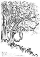2016-09 Ombu (gnyp) Tags: new plymouth zealand taranaki tree gnyp drawing sketch ombu
