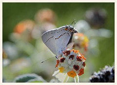 Gray Hairstreak (gauchocat) Tags: tucsonmountains pimacountyarizona