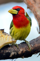 Red-Headed Barbet, Mindo, Ecuador (alextsui86) Tags: ecuador mindo northern highlands cloud forest male red headed barbet