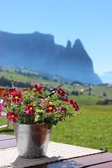 Alpe di Siusi (stgio) Tags: mountains dolomiti altoadige valgardena alpedisiusi flowers summer summerflower colorful