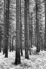 Soaring Timber Infrared (Don Thoreby) Tags: suncadiaresort cascades cascaderange cascademts cascademountains forest ponderosapines