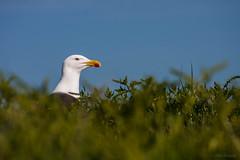 Mouette (gilles.houze) Tags: oiseau mouette france bretagne lieux lesglénans finistere