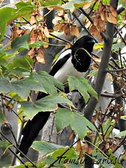 Eurasian Magpie (tinlight7) Tags: magpie eurasian bird black white tree istanbul turkey taxonomy:kingdom=animalia animalia taxonomy:phylum=chordata chordata taxonomy:subphylum=vertebrata vertebrata taxonomy:class=aves aves taxonomy:order=passeriformes passeriformes taxonomy:family=corvidae corvidae taxonomy:genus=pica pica taxonomy:species=pica taxonomy:binomial=picapica 까치 skjære ekster pegarabilonga skata piebavarde gazza garsa picapica eurasianmagpie commonmagpie elster pega pegarabuda urracaeuroasiáticacomún charaeuroasiáticacomún picaraza picaza harakka европейскаясорока сорока taxonomy:common=까치 taxonomy:common=skjære taxonomy:common=ekster taxonomy:common=pegarabilonga taxonomy:common=skata taxonomy:common=piebavarde taxonomy:common=gazza taxonomy:common=garsa taxonomy:common=eurasianmagpie taxonomy:common=commonmagpie taxonomy:common=elster taxonomy:common=pega taxonomy:common=pegarabuda taxonomy:common=arrendajoeuroasiáticocomún taxonomy:common=urracaeuroasiáticacomún taxonomy:common=charaeuroasiáticacomún taxonomy:common=picaraza taxonomy:common=picaza taxonomy:common=harakka taxonomy:common=европейскаясорока taxonomy:common=сорока
