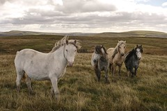 Horses (Parishes of the Buzzard) Tags: horse horses pony ponies wales welsh rhymney valley valleys rhymneyandbedwelltycommon scenery rural grass