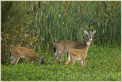 white-tailed doe and her fawns (Christian Hunold) Tags: whitetaileddoe whitetailedfawn whitetaileddeer deer whitetail doe fawn mammal weisswedelhirsch johnheinznwr philadelphia christianhunold