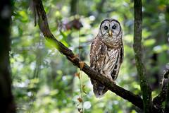Barred Owl (Melis J) Tags: barredowl bird florida owls