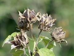 Brown seedpods - Hibiscus palustris - Malvaceae (Monceau) Tags: brown seedpods hibiscuspalustris malvaceae