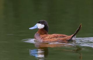 Ruddy duck male in breeding colours