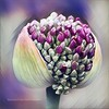 Digital Allium (AngelVibeDigital) Tags: purple digitaledit blossom art nature photography paintedflowers nikon digitalallium allium outdoor digitalart colorful nikonp900