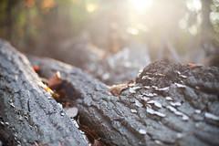 lichen in the morning sun ({corinne}) Tags: lichen canon5dmarkii digital quantico virginia tree bark morning sunlight flare october2013 50mmf14
