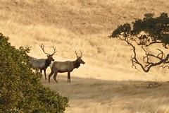 Cervus canadensis nannodes, TULE ELK (openspacer) Tags: cervus elk mammal pachecostatepark santaclaracounty