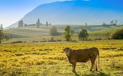 Rural serenade (Nstajn) Tags: sony sonya7ii a7 minoltaaf85mm14 minolta animaladdiction animalplanet cow farm farming colours sun autumn rural village landscape slovenia 85mm ngc luckyorgood
