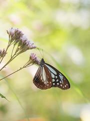 (Polotaro) Tags: mzuikodigital45mmf18 butterfly insect bug nature olympus epm2 pen zuiko          10  garden flower