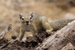 Dont make that Look!!! (carlos.aantunes) Tags: squirrel namibia deadly slow animal head sand africa little sweet