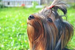(quadros_larissa) Tags: yorkshire yorkie puppy pet red terrier dog