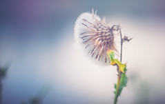 Sow Thistle (Dhina A) Tags: commongroundsel sowthistle sony a7rii ilce7rm2 a7r2 minolta rokkorqf 40mm f17 minoltarokkorqf40mmf17 bokeh fixedlens bokehlicious