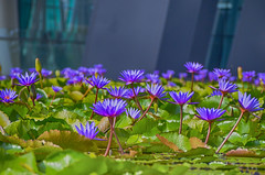 Hundreds of water lilies in bloom. (monique_sg) Tags: flowers waterlilies pond artsciencemuseum singapore lily hdr