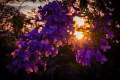 Purple haze. 293/366 (jenniferdudley) Tags: australia brisbaneaustralia brisbane nikkor2570mm nikkor nikonphotography nikond750 nikon sunstar sun lensflare sunsets sunset trees jacarandas jacaranda flowers flower 19oct16 day293366 366the2016edition 3662016