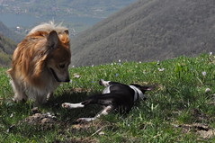 Colle S. Fermo aprile 2013 (Marco_bg) Tags: blue sky dog mountain green grass boston puppy lago puppies play terrier bergamo prato montagna cani iseo colle sanfermo