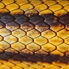 square abstract #89 (al-ien) Tags: abstract snake ratsnake abstractreality squareabstract squarefantasywildlifeseries