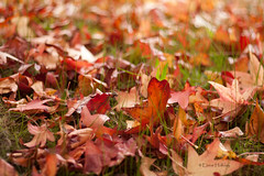 Autumn that year painted the countryside in vivid shades of scarlet, saffron and russet, and the days were clear and crisp under harvest skies. (loobyloo55) Tags: autumn orange brown green grass leaves yellow canon 50mm gold golden dof bokeh f18 russet 50mmlens f18ii