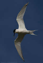 Beach patrol (Avian Sky) Tags: sky bird flight sandwichtern sternasandviscensis
