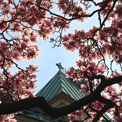 The Cross Beckons (marylea) Tags: pink flowers beauty spring catholic michigan blossoms annarbor magnolia catholicchurch blooms magnolias may3 2013 stthomasaa stthomastheapostlecatholicchurch