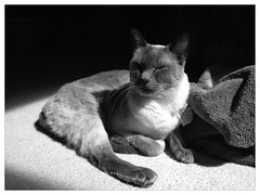 Sunbathing (mikepirnat) Tags: blackandwhite cats sun animals cat julia siamese sunbeam siamesecats bluepoint uploaded:by=flickrmobile flickriosapp:filter=panda pandafilter
