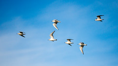 Bonaparte's Gull flyby (jonasflanken) Tags: alviso birdinflight bonapartesgull california donedwardssanfranciscobaynationalwildliferefugealviso northerncalifornia sanfranciscobayarea southbay animal bird flight gull seabird sanjose unitedstates