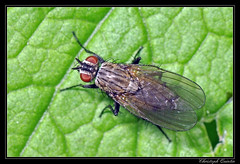Anthomyia liturata (cquintin) Tags: arthropoda diptera anthomyiidae anthomyia liturata