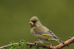 Greenfinch (Colin Rigney) Tags: wild green nature birds garden wildlife finches greenfinch wildbirds birdphotos enniskerrycowicklow canoneos60d colinrigney