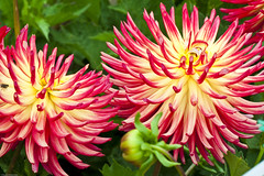 Dahlia Gardens-8721-2 (Donald Wanamaker Photography) Tags: sanfrancisco california park golden gate dahlias july2010