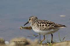 #164 Least Sandpiper (jannagal) Tags: lake bird nature water spring bokeh michigan wildlife may sandpiper shorebird leastsandpiper calidrisminutilla canon60d jannagal lakestclairmetropark jannagalski lifebirdphotograph164