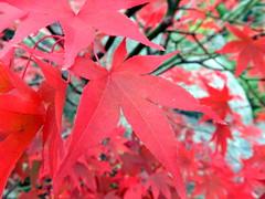 Japanese Maple (tiexano) Tags: dsseldorf ekhaus ekhausderjapanischenkultur japanesediaspora japan japaneseculture leaf leaves fall autumn maple japanesemaple acerpalmatum red