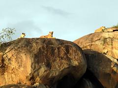 DSCN2469 (David Bygott) Tags: natgeoexpeditions ngexpeditions africa tanzania serengeti sayari lion rocks kopje