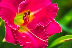 RG_305 ( Ed Lee) Tags: nikon 7100 tokina 1228 richmond green morning overcast garden floral flower portrait color contrast closeup macro bokeh petal plant bright depthoffield outdoor