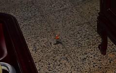 Esfinge colibel (Macroglossum stellatarum). Barriada de Federico Mayo. Ayamonte (Huelva). (Rytlock Brimstone) Tags: biogeografa biogeography artrpodo lepidptero insecto insect entomologa ayamonte huelva