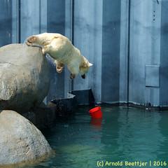ijsberen_05 (Arnold Beettjer) Tags: wildlands emmen dierenpark dierentuin dierenparkemmen ijsbeer ijsberen polarbear