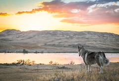 IMG_8339 (giraffes_fly) Tags: kazakhstan almatysurroundings ili iliriver river nature steppe landscape outdoor dog sunset colorfulsky malamute sunshine
